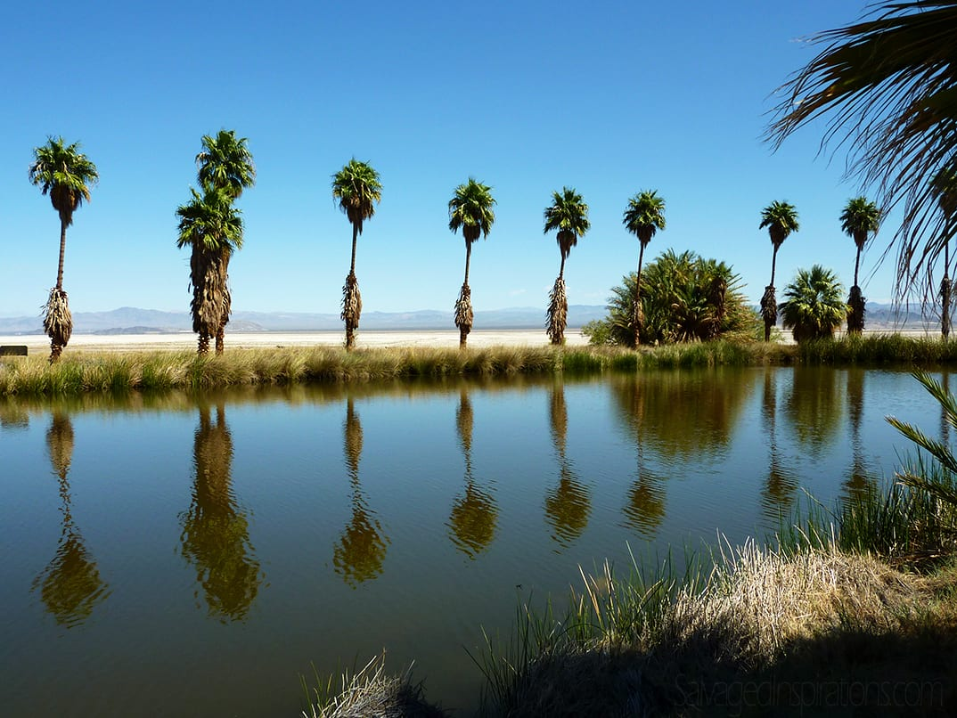 palms-on-zzyzx-california