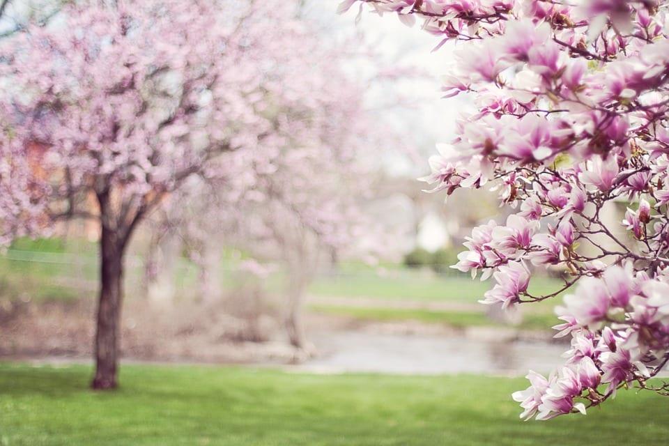 magnolia-trees-