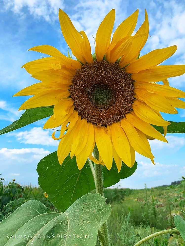 Sunflower - Salvaged Inspirations